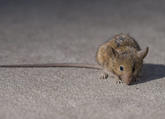 New York City Scientists Using Pheromones to Track Rats; Here's the theory