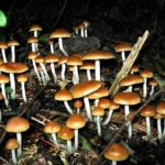 """Magic mushrooms""- To help restore brain activity in comatose patients"