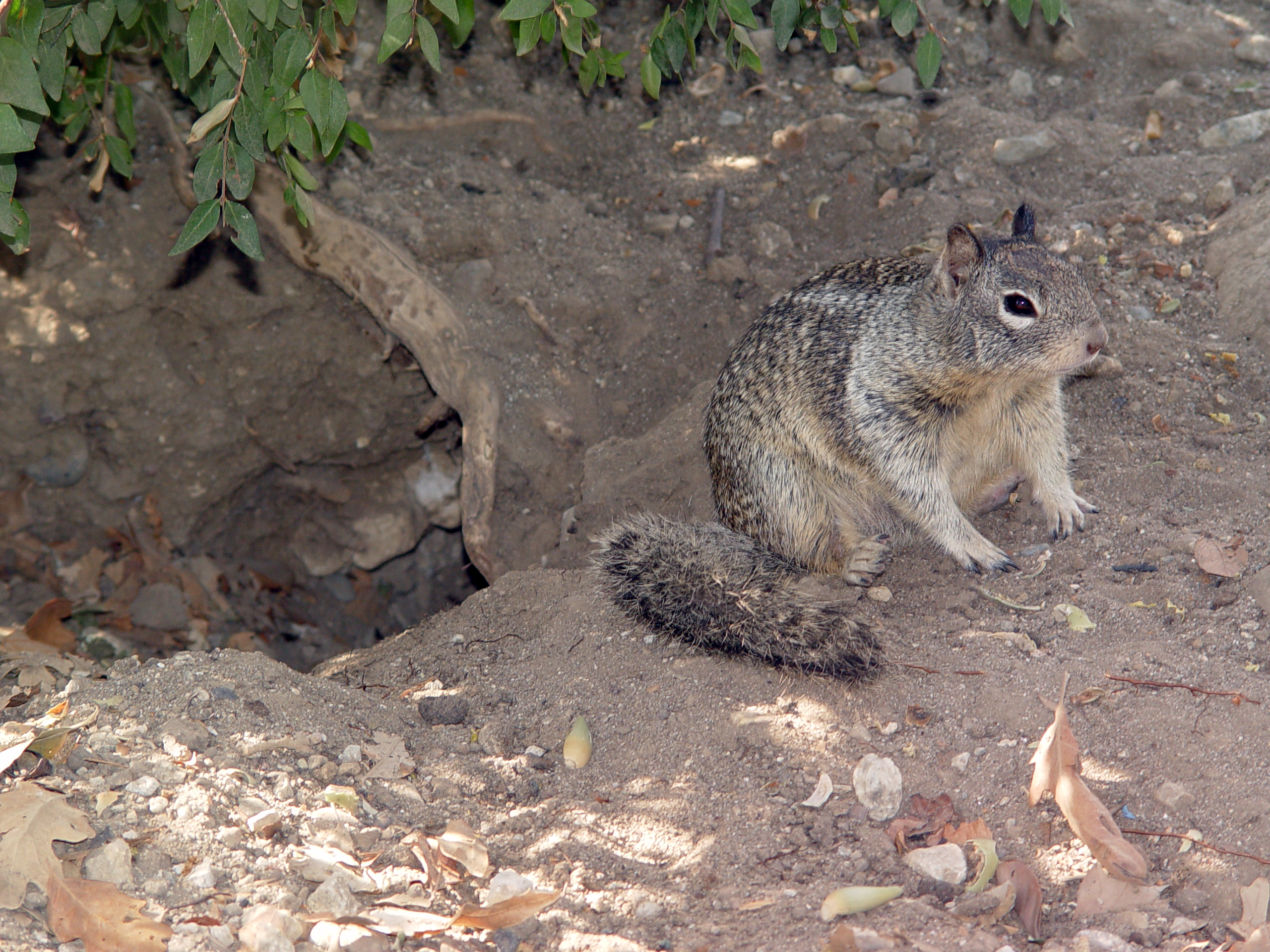 What leads Hibernating squirrels to live for months without water?