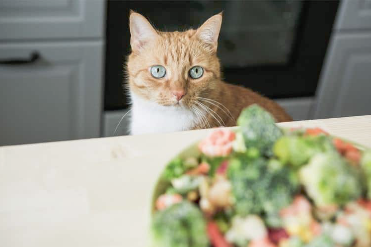 cat on diet meme