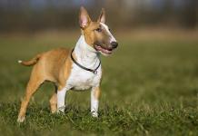 Guide Bull Terrier Dog Breed